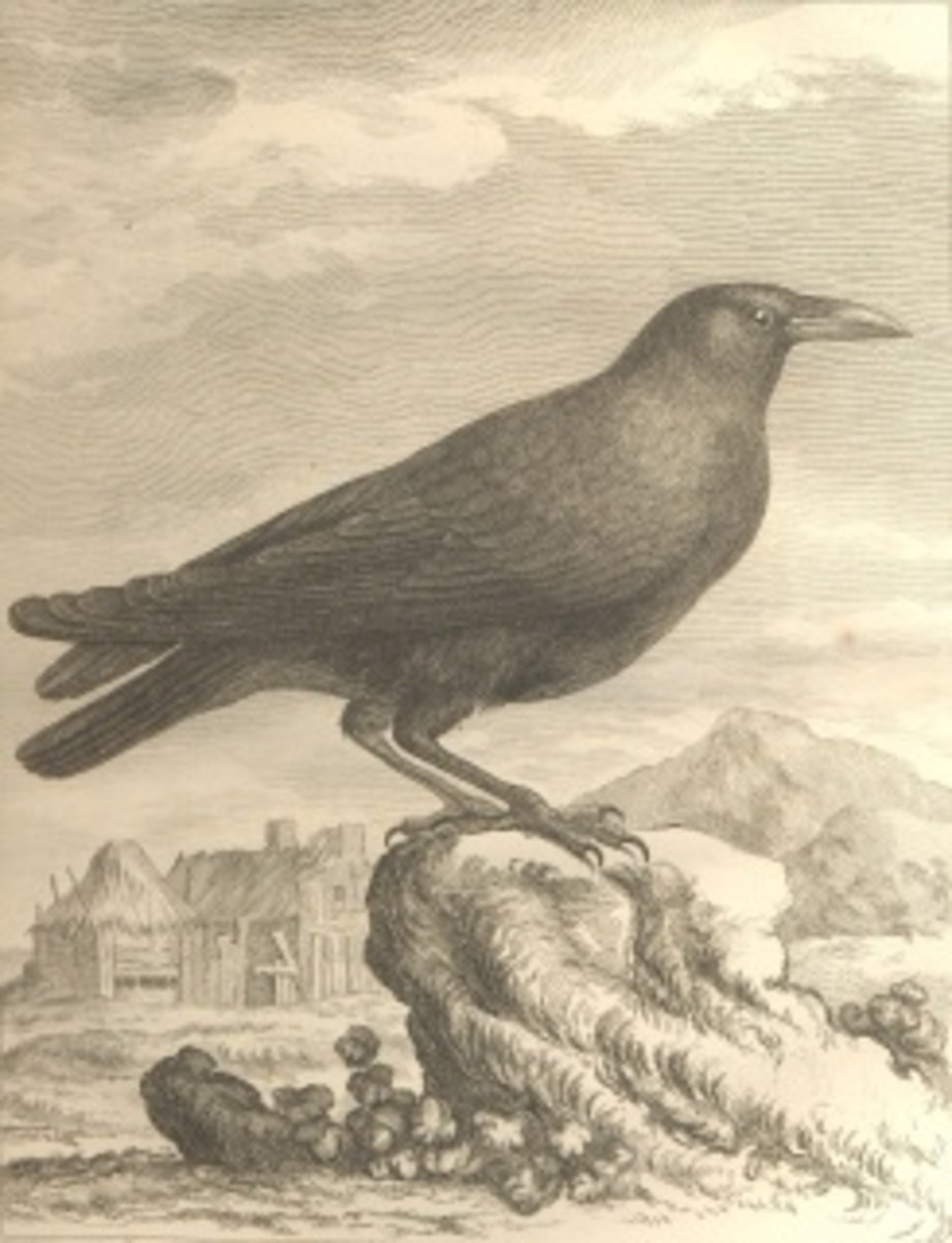 """Crow illustration from Georges-Louis Leclerc, Comte de Buffon's """"Histoire naturelle"""" encyclopedia."""