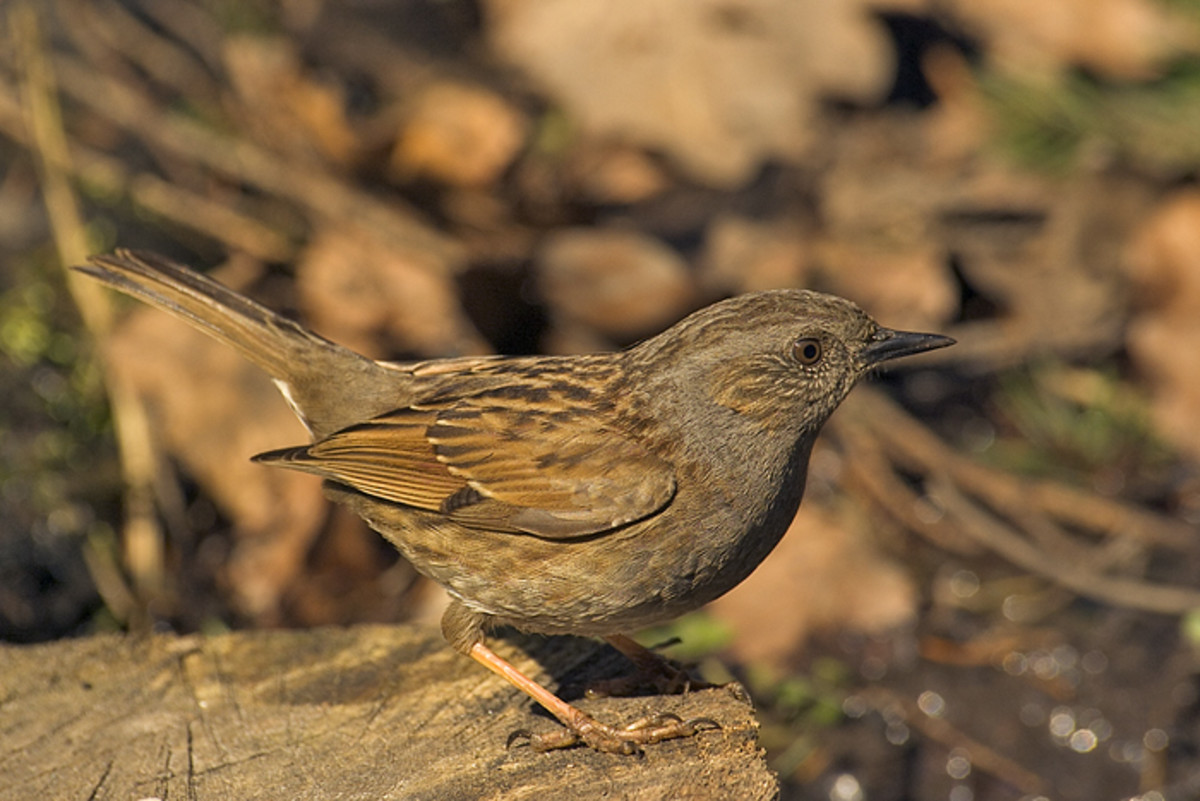 The dunnock's name comes from the ancient British word 'dunnakos' meaning 'little brown one.'