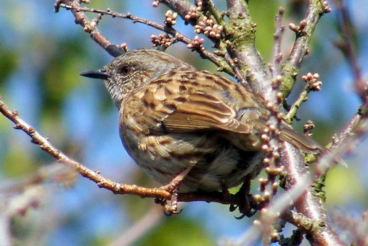 This dunnock was photographed in March on the Isle of Wight. By this time, its very odd mating season has been underway for over a month.