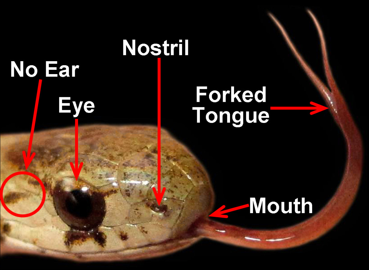 Various senses of this Northern Brown Snake (Storeria dekayi dekayi) are labeled, emphasizing its eye, nostril, mouth, forked tongue, and lack of an external ear.