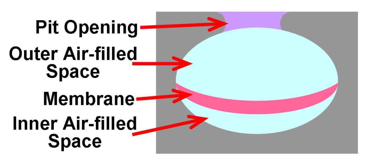 The internal anatomy of a heat-sensing pit organ (in Pitvipers), showing the opening to the external environment and the outer/inner air-filled chambers separated by the heat-sensing membrane.  This membrane reflects camera flash.