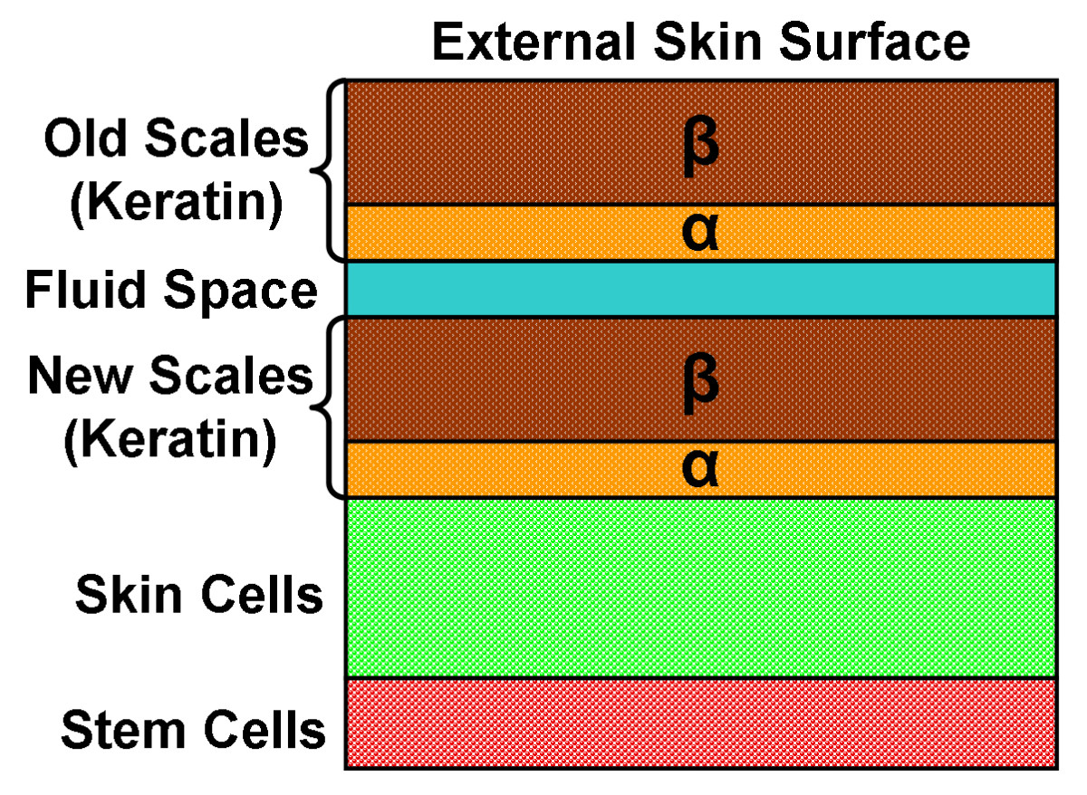 A cross-section of snake skin, showing the old, outer layer of scales in the process of being shed (with a layer of fluid separating it from the new, inner scale layer). Beneath the new scale layer is a layer of skin cells and a layer of stem cells.