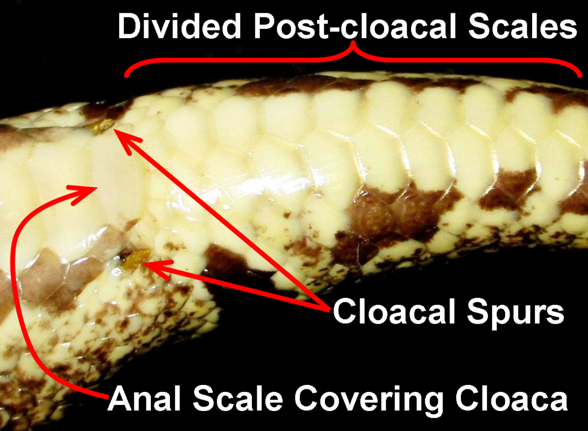 Many boids possess remnants of rear-legs (femurs) in the form of cloacal spurs that border the sides of the anal plate (and the cloaca, underneath).  The post-cloacal scales are divided in this Ball Python (Python regius).