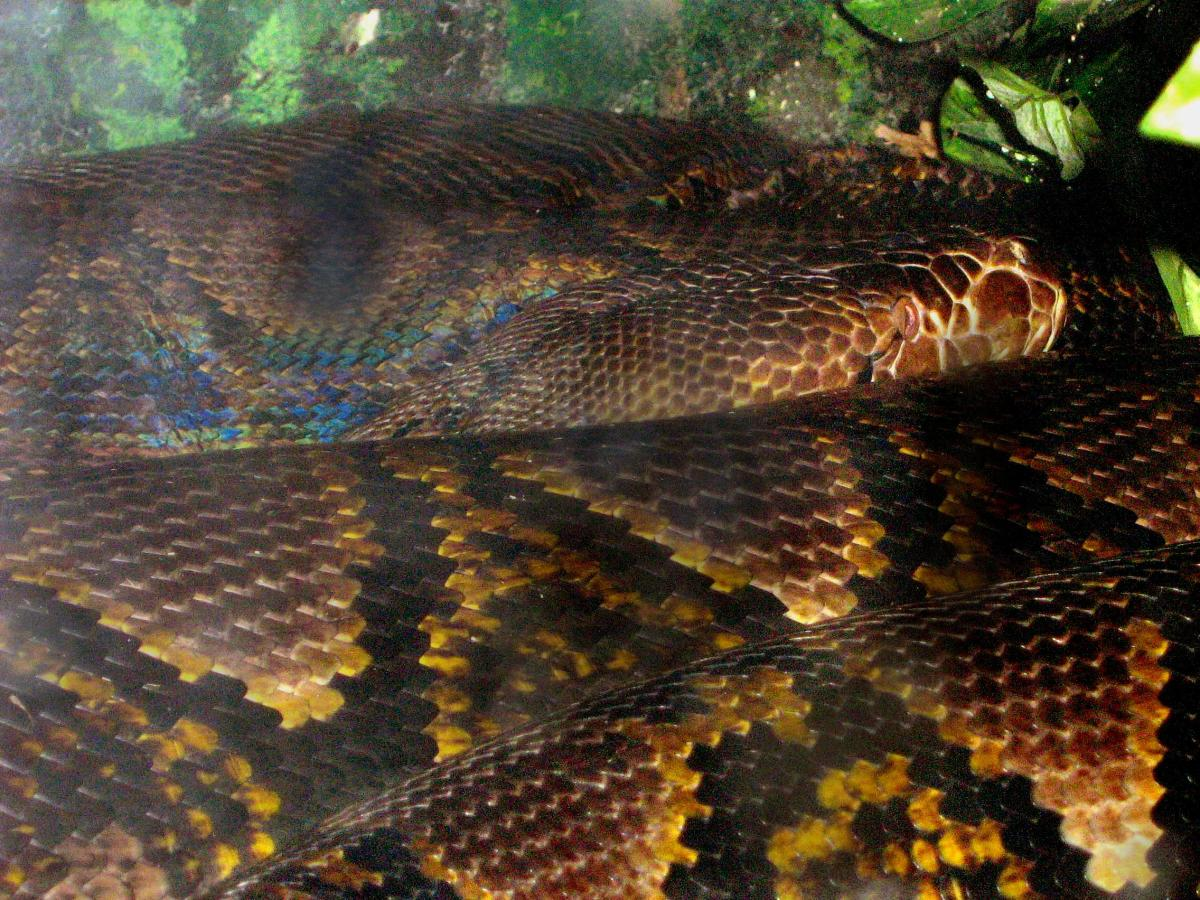 The Reticulated Python (Python reticulatus) grows to be the longest snake in the world, at 33' long.  This individual is only 17' long, 120 lbs, and resides at the Fort Wayne Children's Zoo.