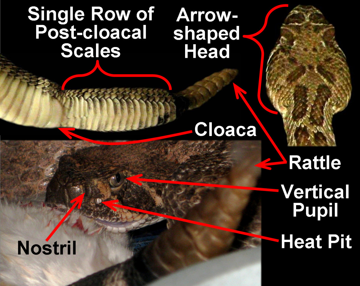 A set of five general rules/guidelines that serve as an easy reference tool for quickly identifying Pitvipers in the United States.  Keep in mind that only Rattlesnakes will possess a rattle at the end of their tail.