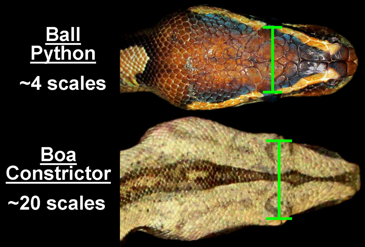 Comparing the number of dorsal head scales between the eyes of a Ball Python (Python regius) and a Red-tail Boa Constrictor (Boa constrictor constrictor).  Boa Constrictors have significantly smaller dorsal head scales than Pythons.
