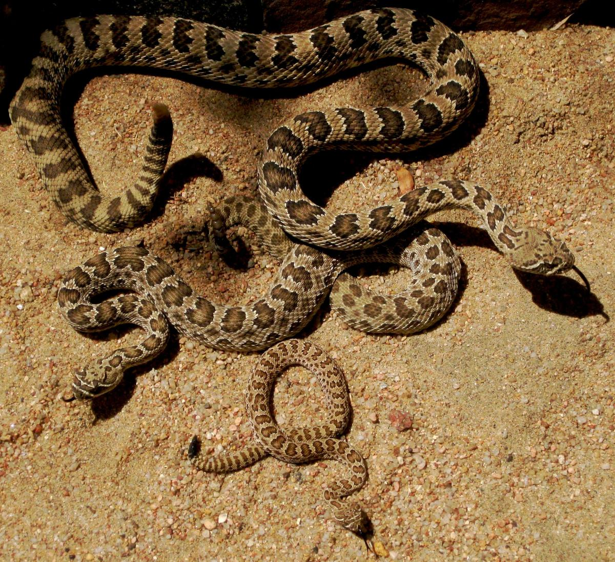 Three Prairie Rattlesnakes (Crotalus viridis viridis) of various sizes/ages to illustrate how being cold-blooded permits these snakes to thrive in low-energy environments, such as deserts.