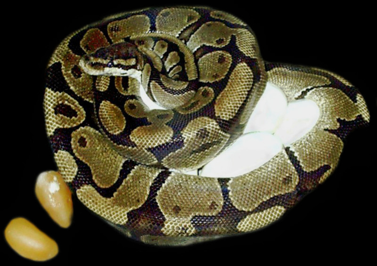 """A ~4.5' Ball Python (Python regius) curling around her 9 leathery eggs (that are nearly chicken egg-sized) to warm and protect them.  The two orange-colored eggs off to the side were """"duds"""" (infertile/""""stillborn"""") that did not develop normally."""