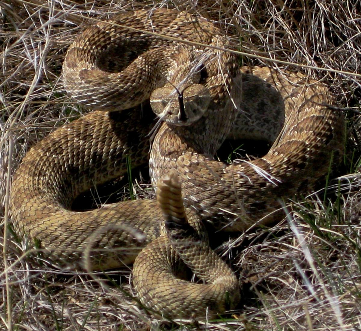A Prairie Rattlesnake (Crotalus viridis viridis), which is the ideal candidate for these five quick-and-dirty rules for identifying Pitvipers in the United States.  Rattlesnakes are limited in distribution to the Americas.
