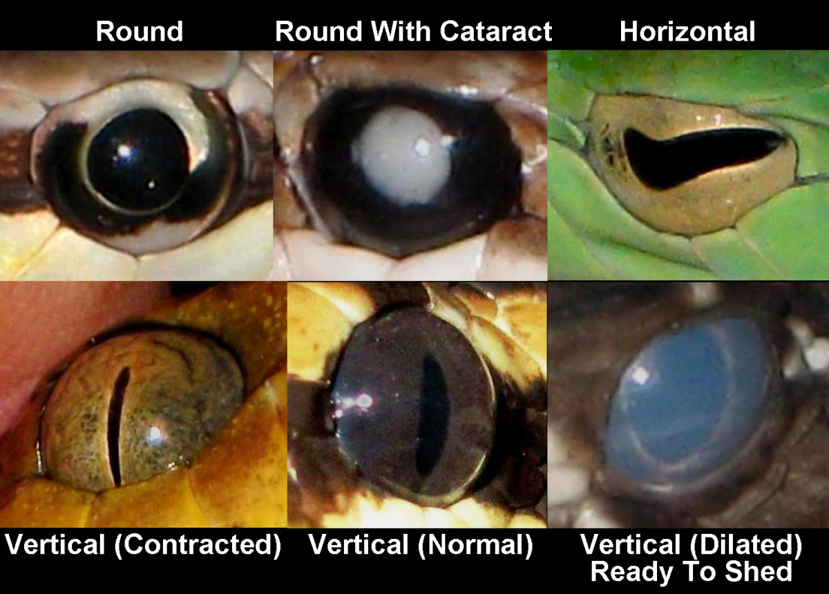 Snakes most commonly have round pupils, horizontal pupils, or vertical pupils.  Vertical pupils can dilate to the point that they almost appear to be round.  Snake vision may be inhibited before shedding (having blue eyes) or by cataracts.