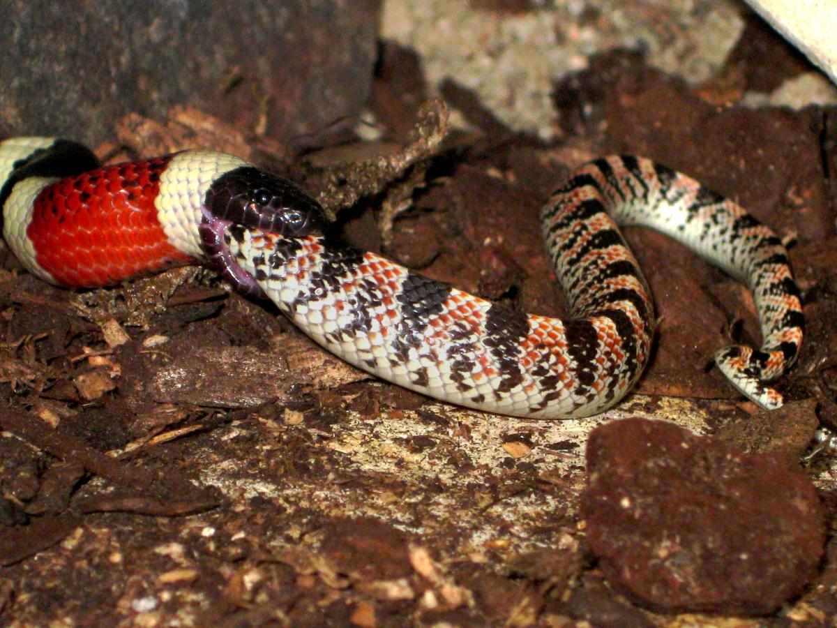 A Sonoran Coral Snake (Micruroides euryxanthus) eating a Long-nosed Snake (Rhinocheilus lecontei), which was just slightly smaller than the Coral Snake.