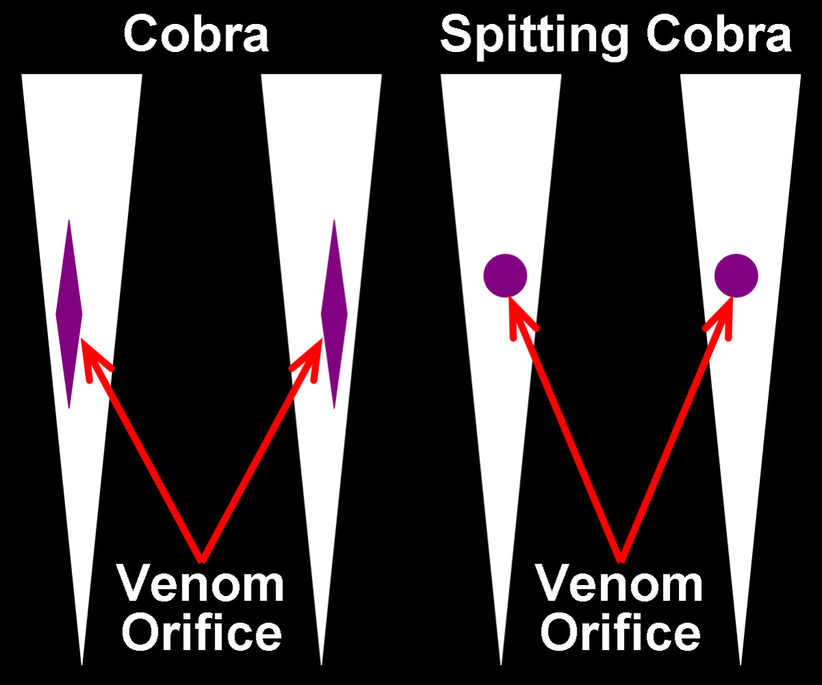 """Front-view comparison between """"normal"""" Cobra fangs and Spitting Cobra fangs, showing the long, shallow, roughly diamond-shaped exit orifices for the venom of """"normal""""  Cobras and the roughly """"circular"""" exit orifices for the venom of Spitting Cobras."""