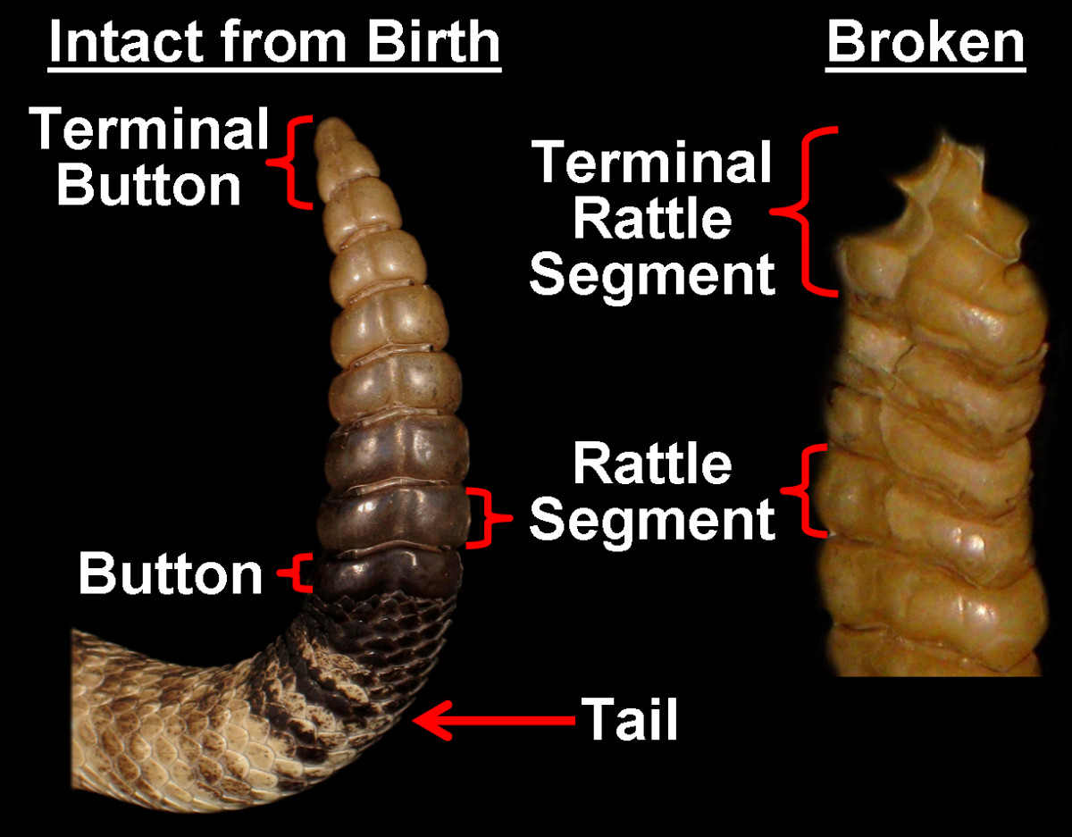 Comparing a rattle that a snake has retained since birth (with its rounded, terminal button) to a rattle that a snake has broken off at least once (with its rough, terminal rattle segment). The intact rattle is 7 rattles long (plus the button; b+7).