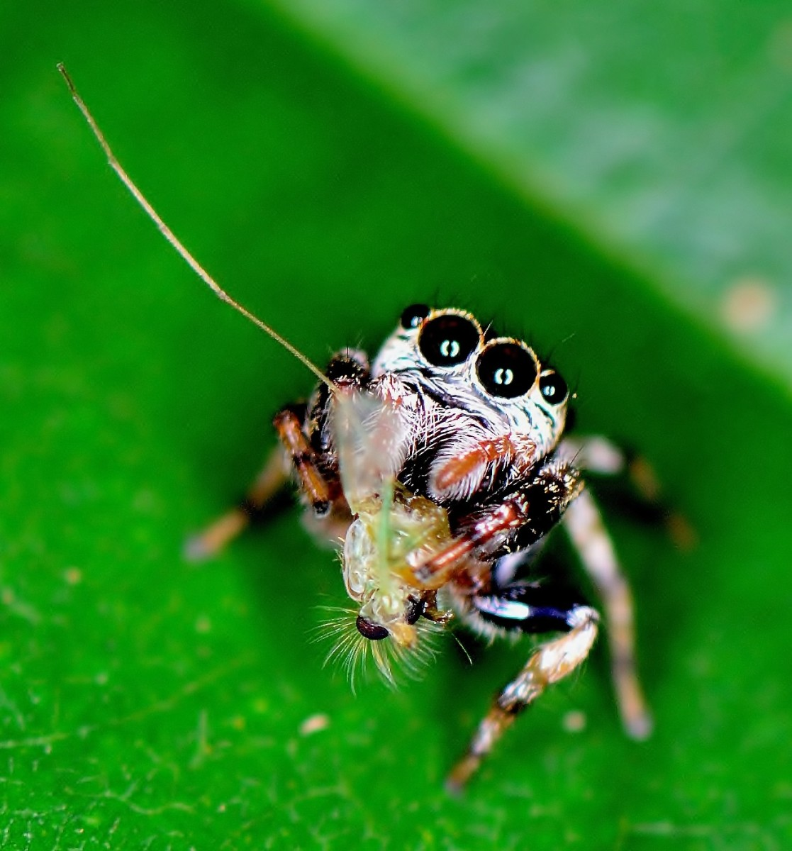 A cute Jumping Spider (Salticidae) found hugging its catch.