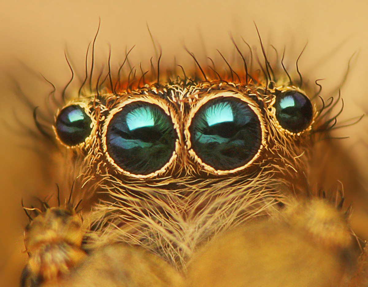 Eyes of Jumping spider - Marpissa radiata.