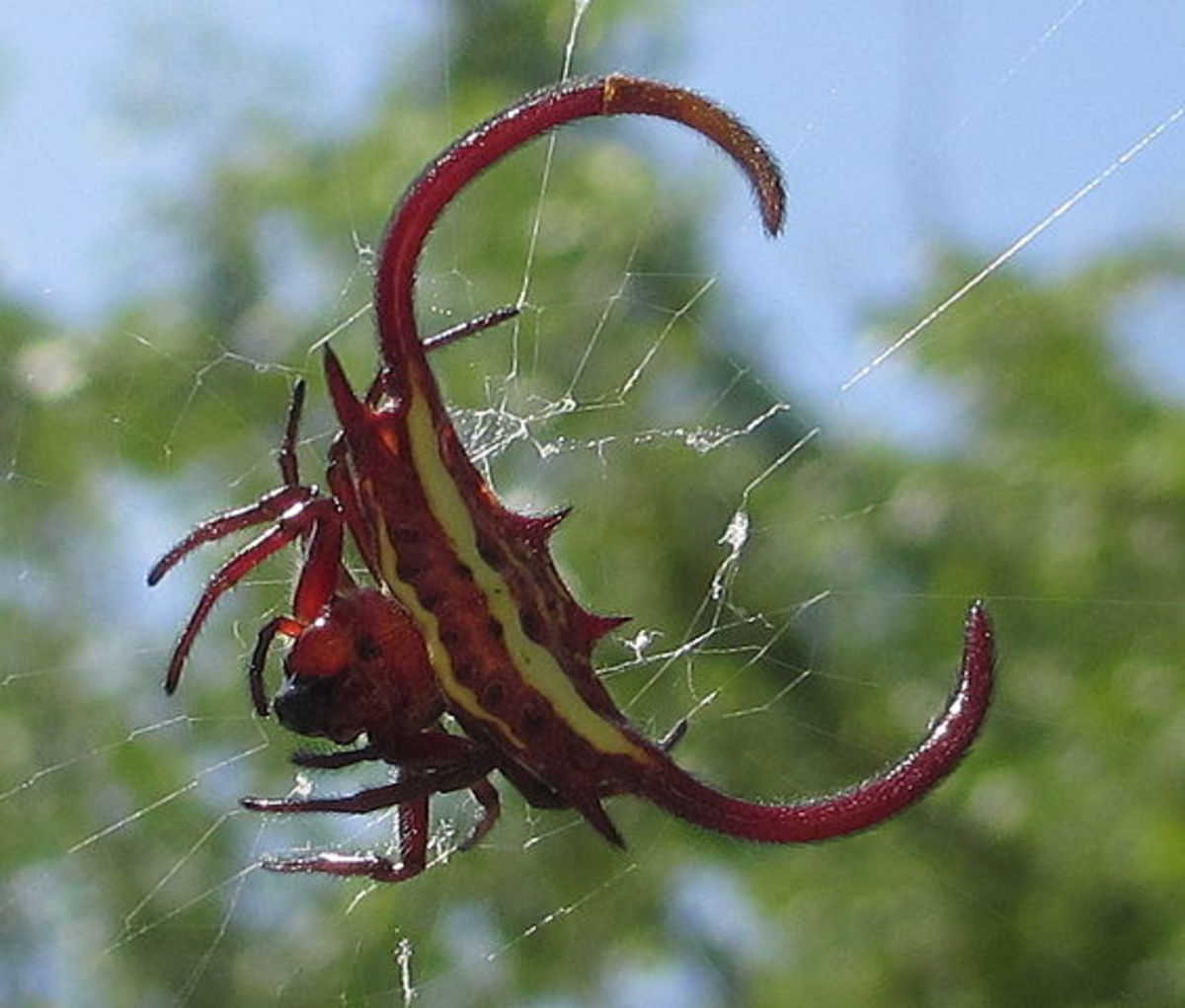 Spider with fangs. In Mecufi district of Mozambique, close to the sea coast.