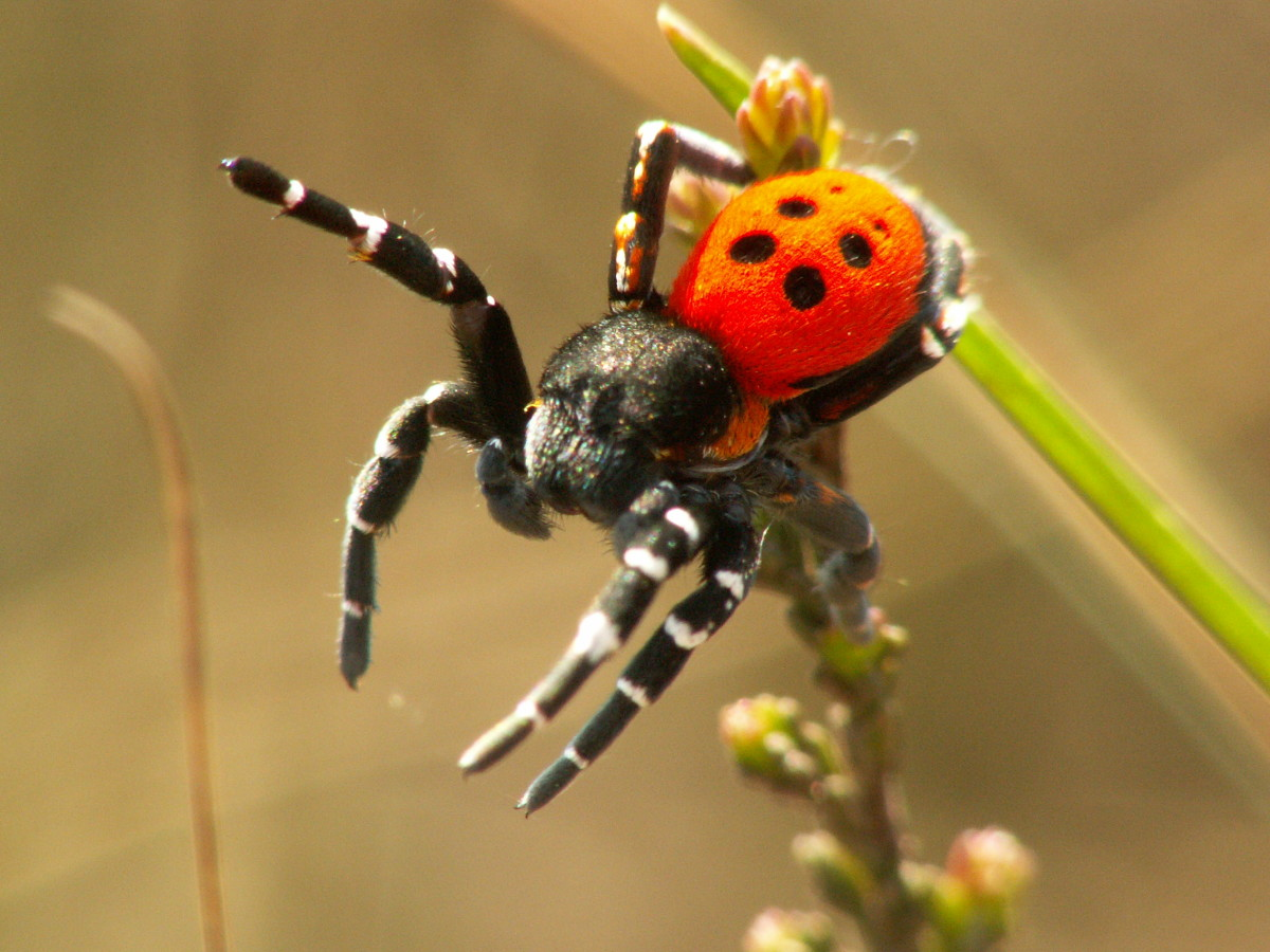Eresus sandaliatus. A male spider tries to pick up the scent of a female with organs on his legs.
