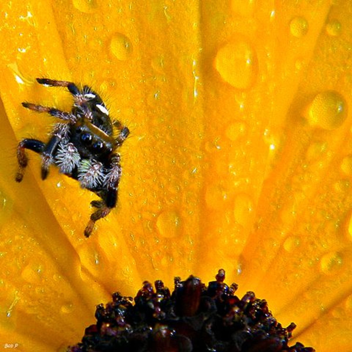 Oompa the dewdrop-sized jumping spider patiently waits for something tasty to land on her flower.