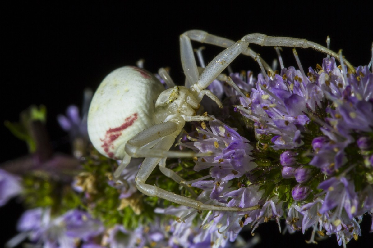 Crab Spider on lavender flowers.