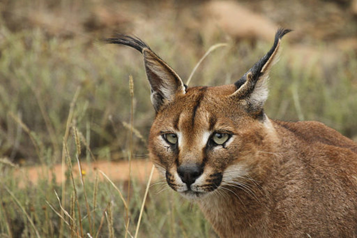 The caracal is an expert hunter at all hours.