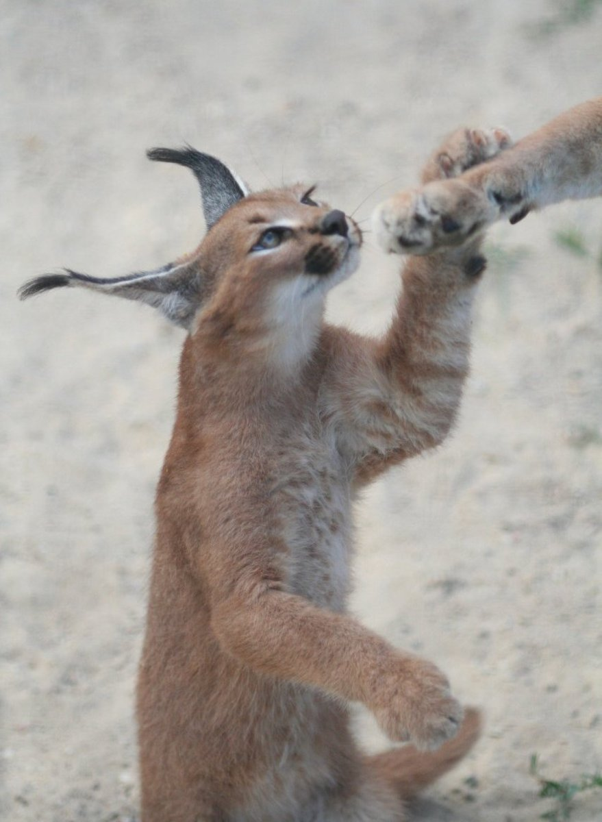 Caracals are born with ear tufts close to full size. These wild animals quickly mature, becoming aggressive.