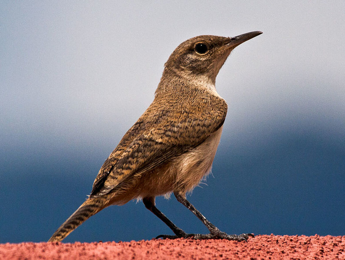 The house wren shares some range with the Carolina Wren. The two birds also share some physical characteristics but are easy to distinguis.
