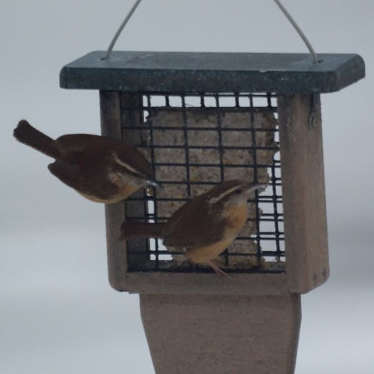 Carolina Wrens will visit feeding stations, especially in winter. They love to snack on suet during the cold months.