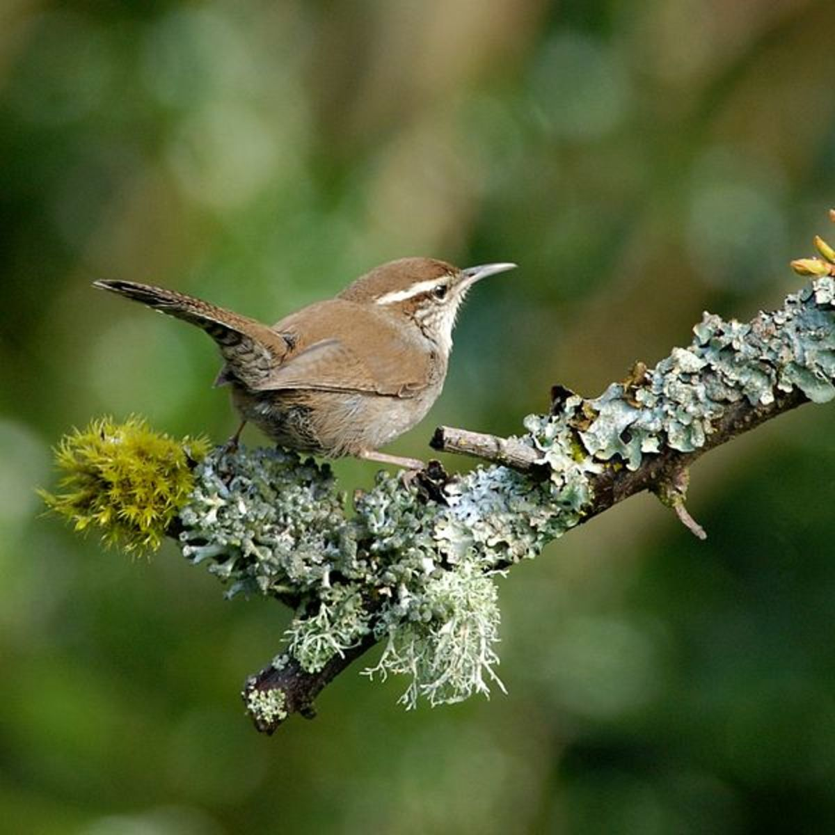Bewicks wren closely resembles Carolina Wren. Bewicks wren has a longer tail and is lighter in color on the breast. Bewicks wren is also limited to the western U.S.