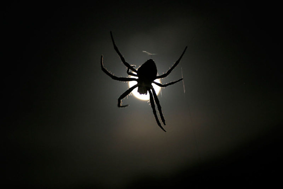 Orb Weaver and Moon