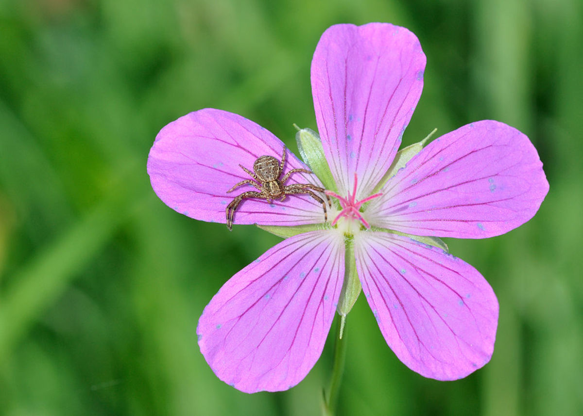 Crab spider (Xysticus sp.) lurking on Marsh Cranesbill