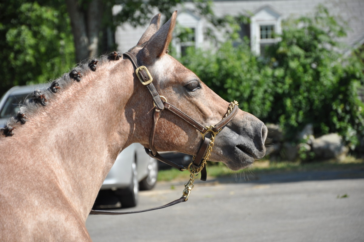 This beautiful young horse is at a show for the first time, and is very excited by the new smells and sights. Her handler has put the chain around the horse's nose to better keep the horse's attention.