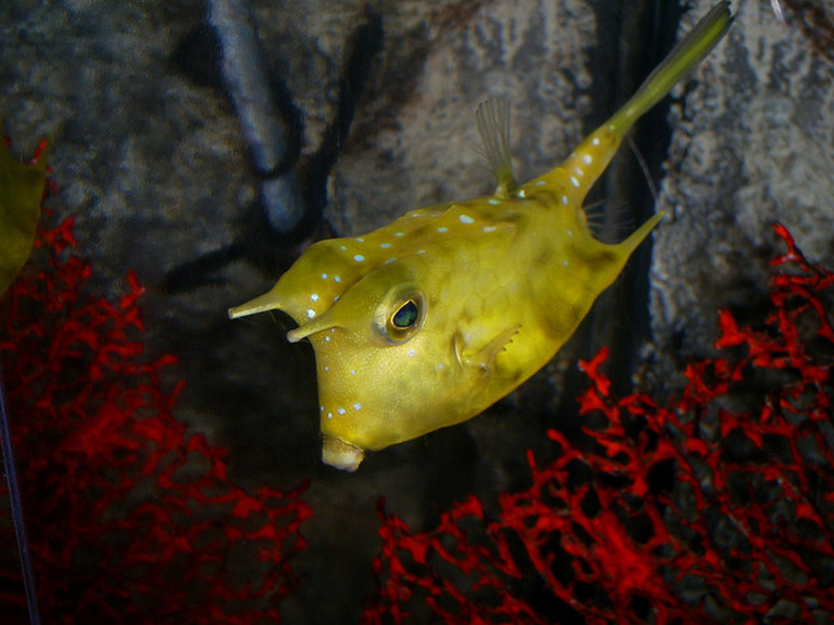 Long Horned Cowfish
