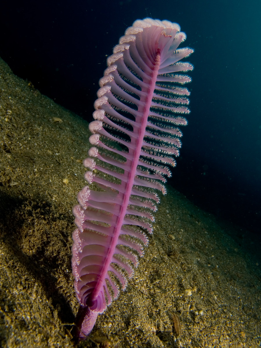 Virgularia sp. (Purple sea pen)