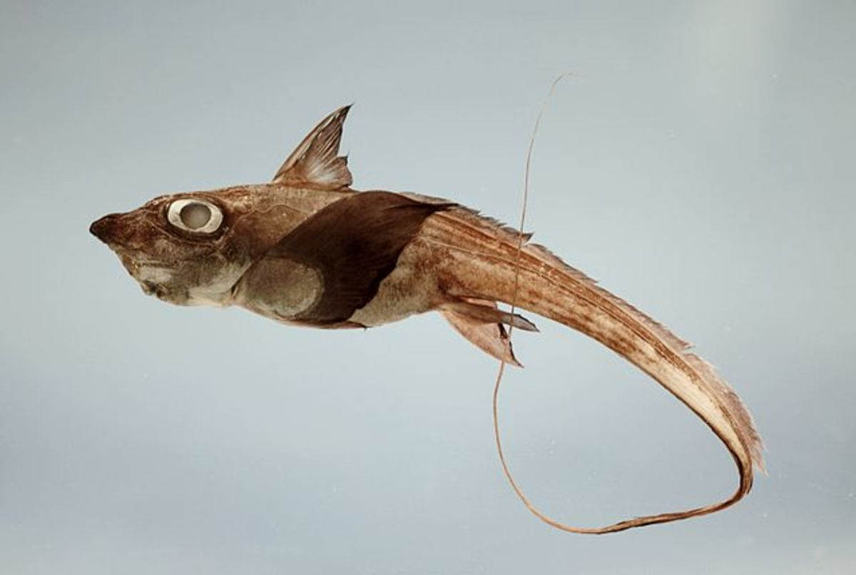A short-nose chimaera or ratfish Hydrolagus alberti from Gulf of Mexico.