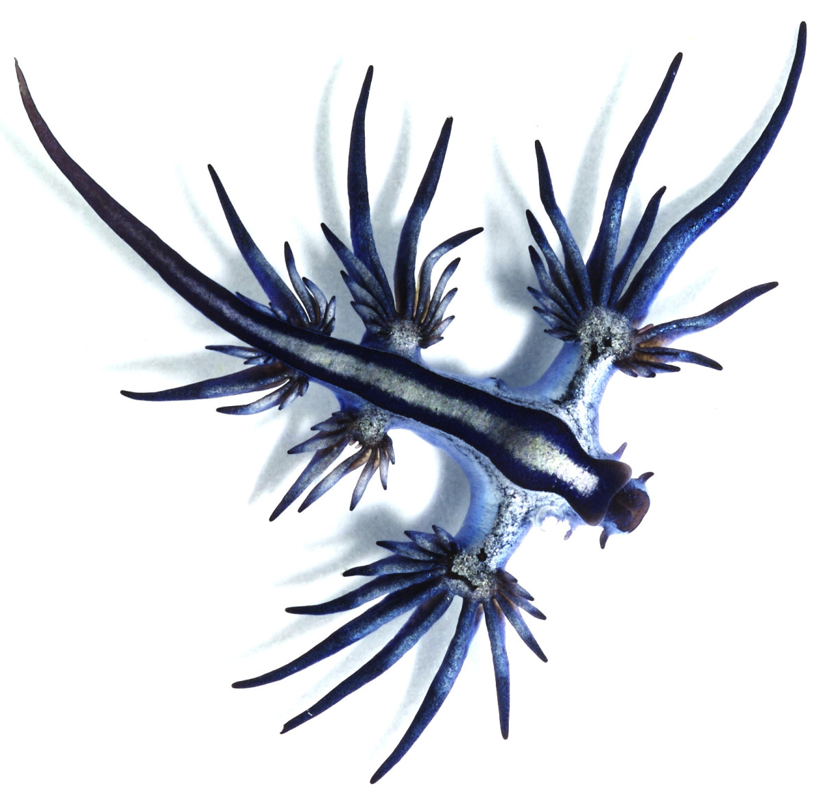 Glaucus atlanticus, the blue dragon is a member of the nudibranch family..