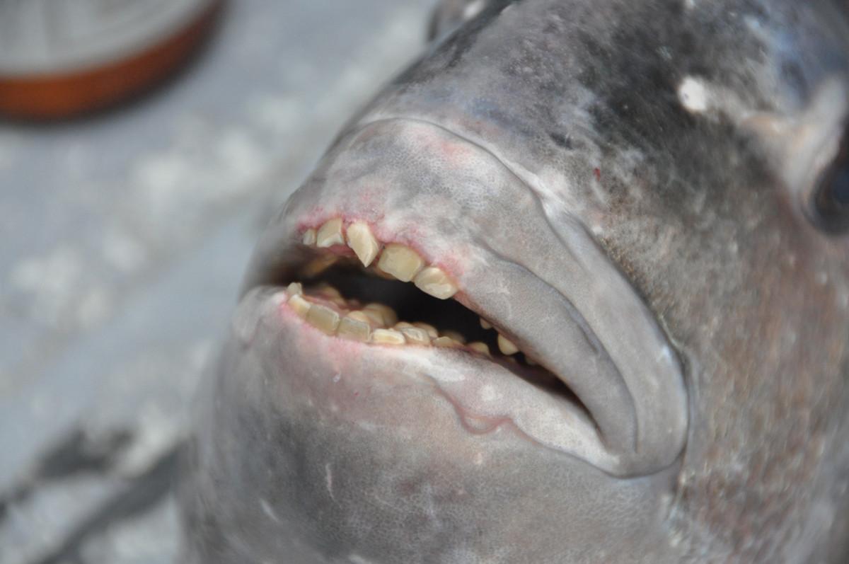 The sheepshead fish has oddly human-like teeth.