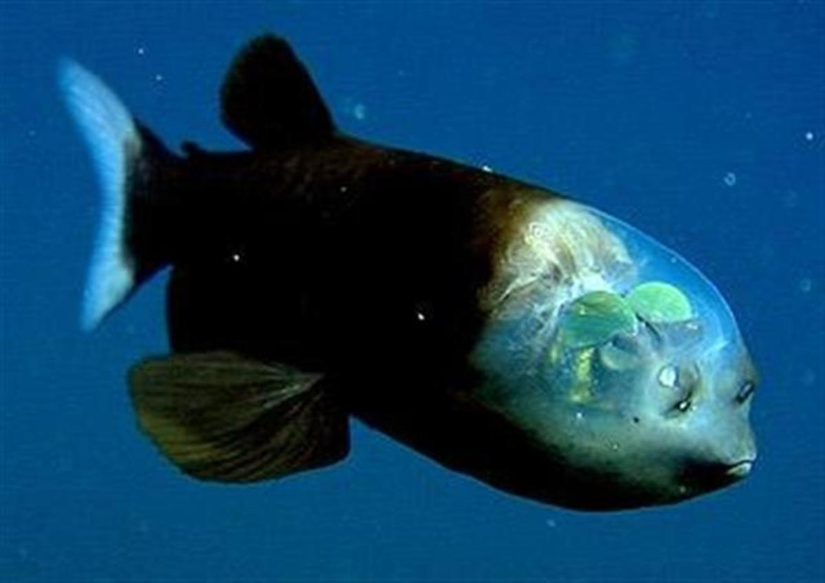 Macropinna microstoma, a fish of the barreleye family.