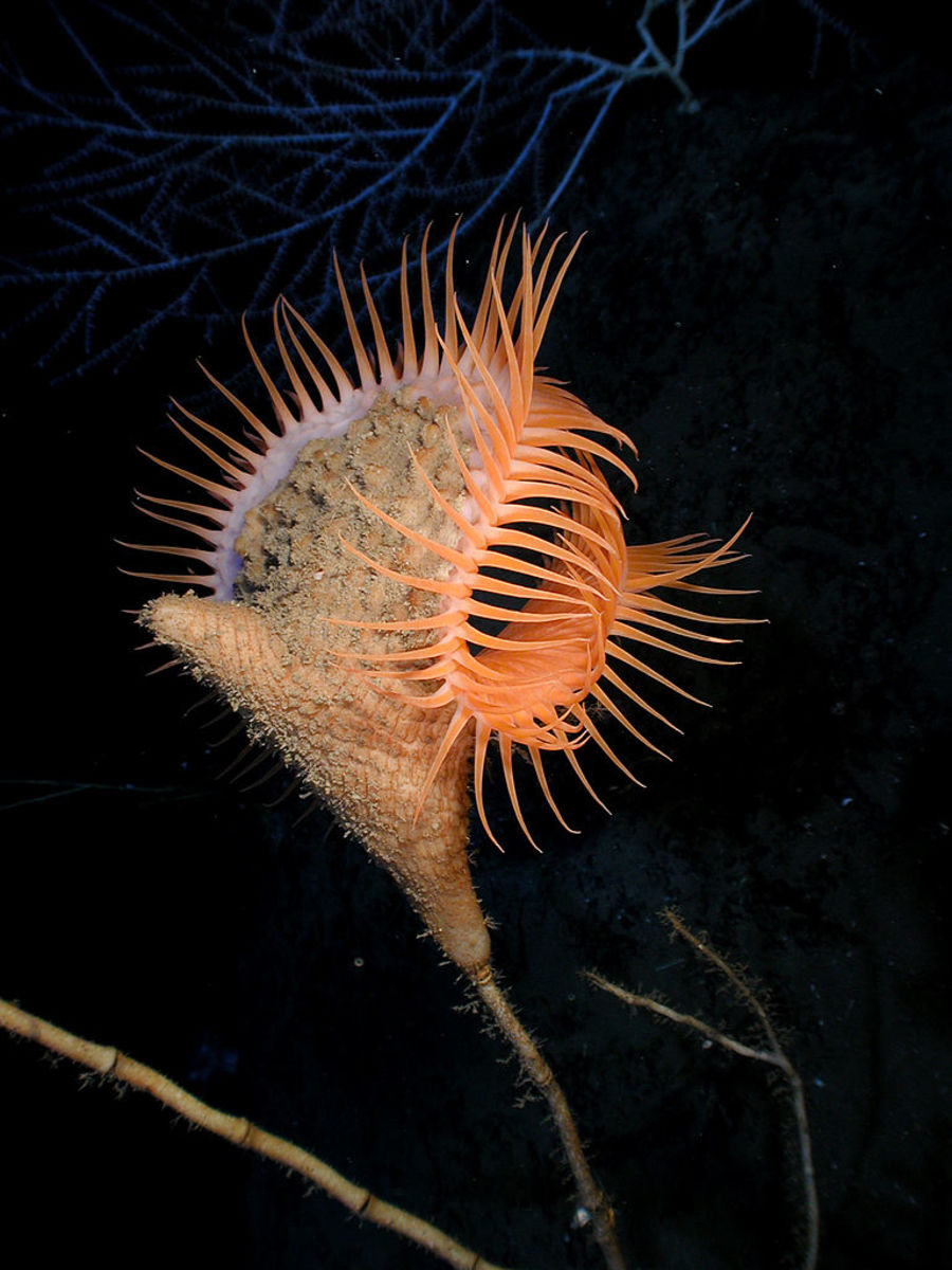 Venus flytrap anemone (Actinoscyphia aurelia) in the Gulf of Mexico.