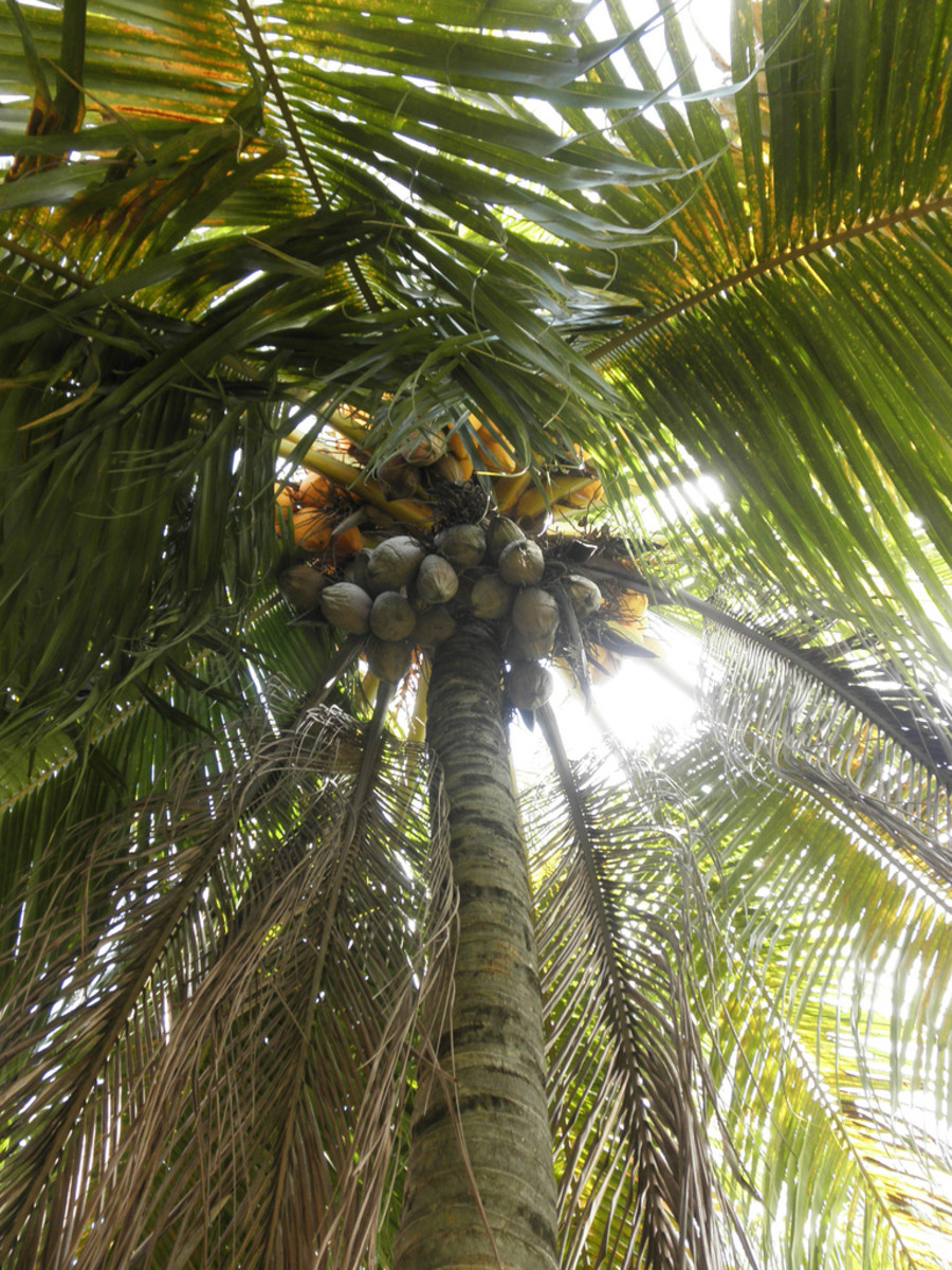 old coconuts on the tree.