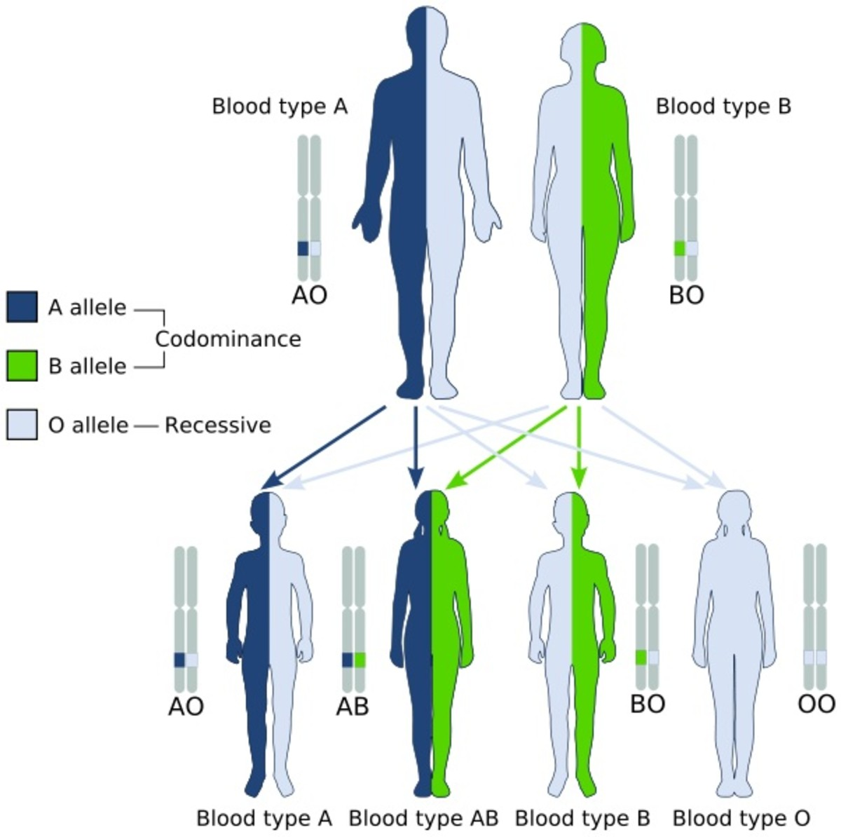 ABO Blood Type Inheritance