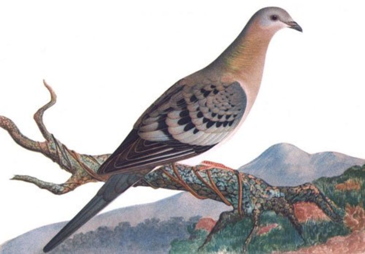 Passenger pigeons used to number in the billions, by far America's most populous birds. They were hunted to extinction by 1914 but could we bring them back by cloning stuffed specimens?