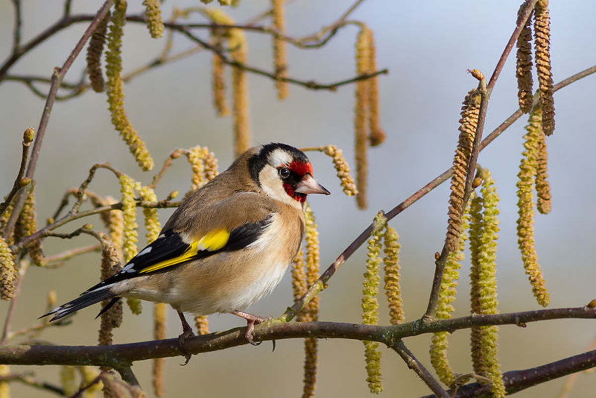 The European goldfinch