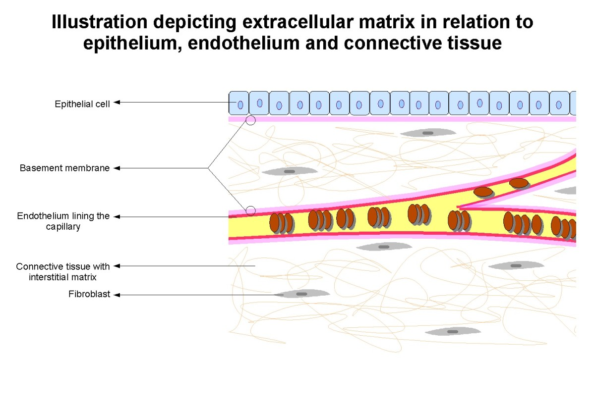 The Extracellular Matrix, or ECM, on either side of a capillary. The protein fibers and fibroblasts are shown. The background material of the ECM is made of a polysaccharide gel.