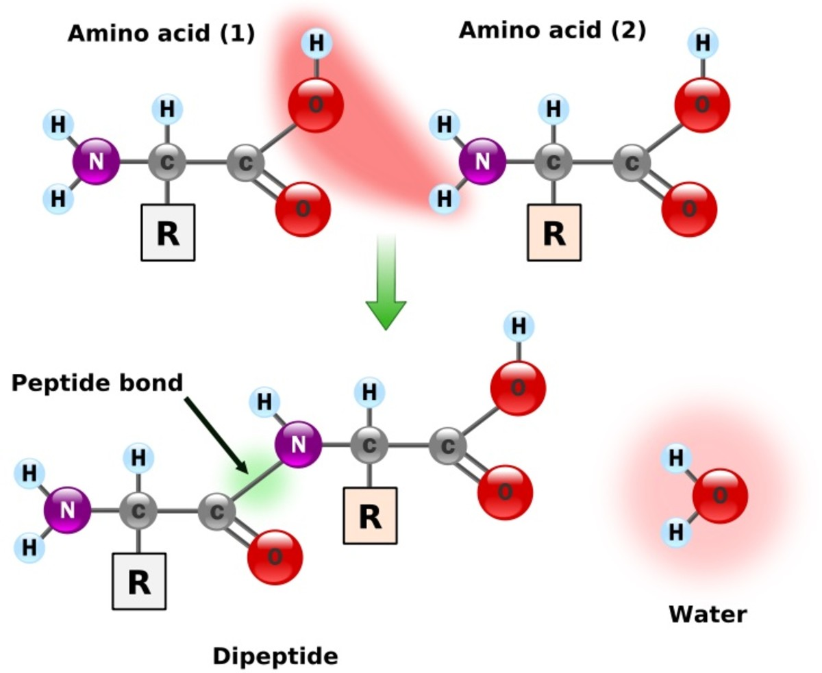 Two amino acids join by a peptide bond. A chain of amino acids has many peptide bonds and is known as a polypeptide.