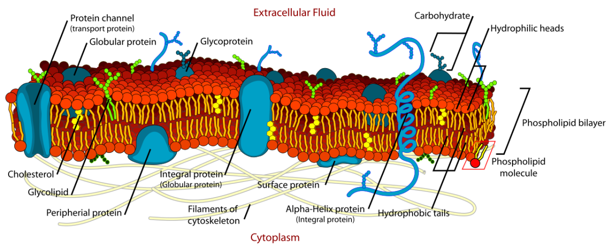 Structure of a cell membrane; integrins are a type of integral protein and are involved in the unfolding and action of cellular fibronectin