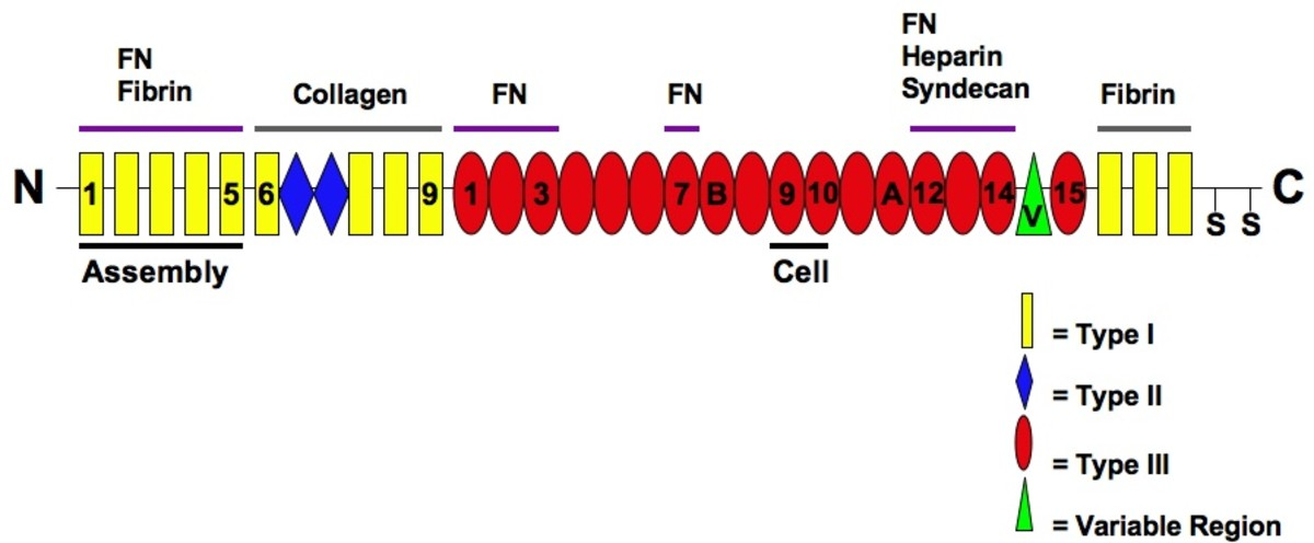 The illustration shows domains in a fibronectin polypeptide. The assembly domain is used when the inactive molecule changes its shape and is converted into an active form.