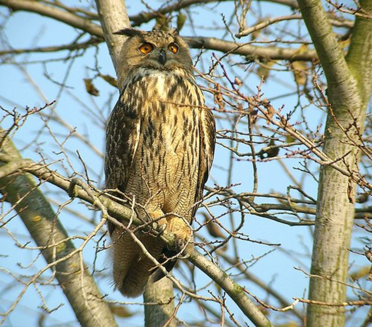 The Eurasian Eagle owl is the largest of the many owl species.