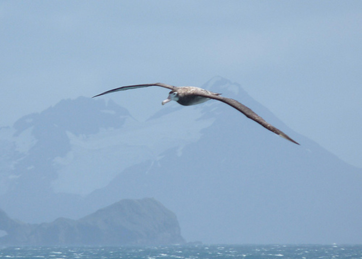 When an albatross leaves the nest it spends the first seven years of its life flying out at sea.