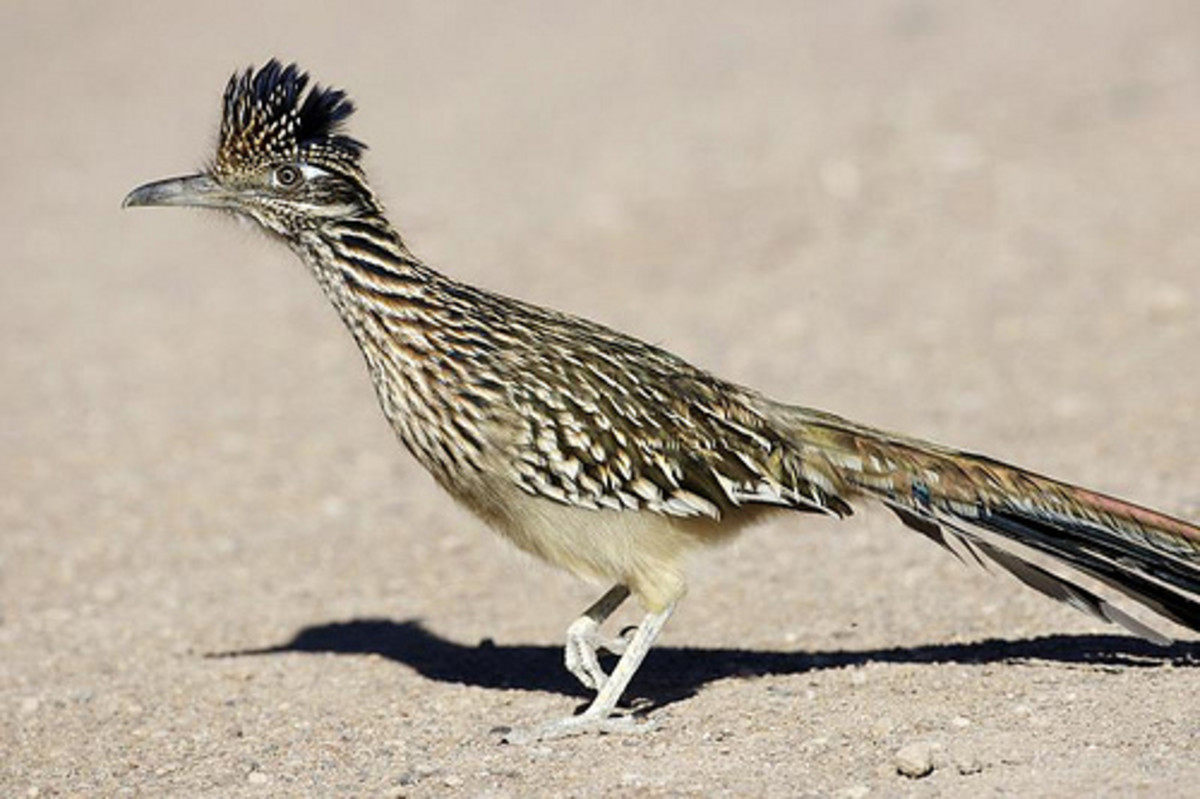 The real Roadrunner is a desert bird from southwest America.
