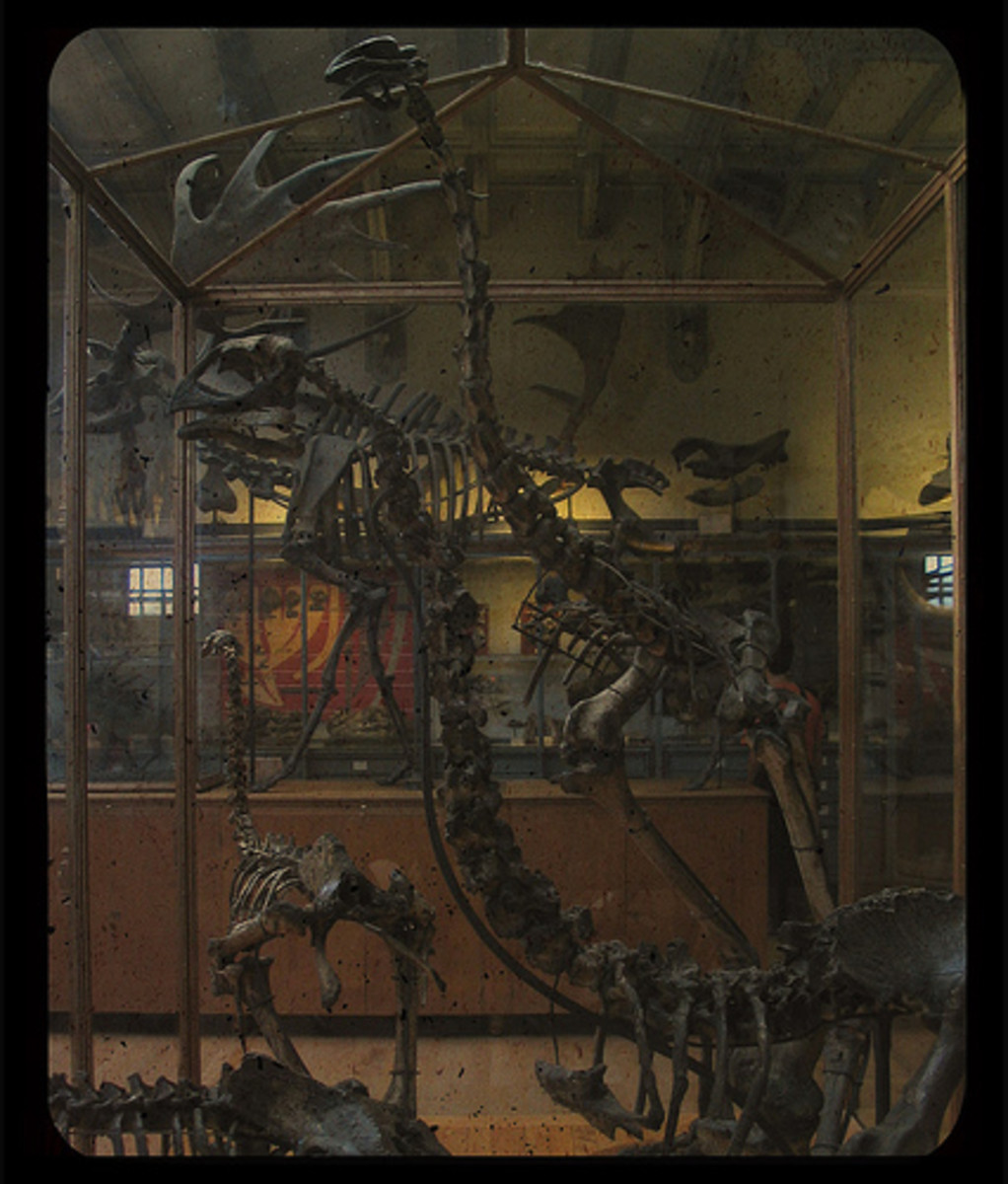 Hunted to extinction, only these skeletons of the magnificent Elephant Birds of Madagascar now remain.